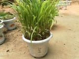 出售:优质牧草种子 高产牧草种子 高丹草