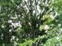 香樟,朴树,榔榆,栾树,及各种绿化苗木出售