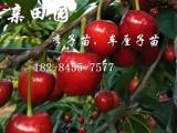 四川大樱桃苗基地 四川大樱桃树苗品种