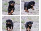 实体犬舍繁殖纯种健康拉布拉多 机警聪明 多只可选