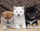 精品日系柴犬 全国可发货 支持视频选狗 可签订协议