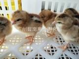 廠家供應商養殖清遠雞行業 土雞2號現貨可發