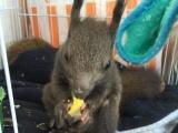 魔王松鼠一只