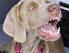 短毛健美威玛猎犬CKU认证专业犬舍 空运全国 包纯保健康