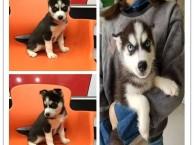 广州阿拉斯加一只多少钱 广州哪里有狗卖 广州宠物市场
