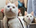 养了2年的波斯猫2只,不想养了