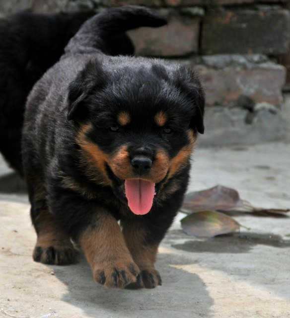 重庆出售精品罗威纳幼犬一血统纯正一保证纯种健康