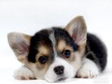 重庆狗狗之家长期出售高品质 柯基犬 售后无忧