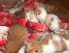 自家繁殖双C加菲猫价格美丽