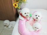 出售赛级澳版萨摩耶幼犬包健康保证雪白毛色