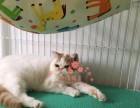 青岛宠物 青岛哪里的加菲猫较便宜 纯种加菲猫一般卖多少钱一只