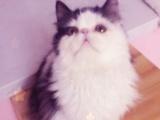 加菲蓝猫蓝白美短布偶