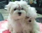 武汉那里有马尔济斯犬卖 武汉马尔济斯犬价格 马尔济斯犬多少钱