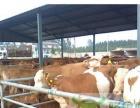 长期出售良种肉牛、育肥牛、小肉牛犊、黑白花公牛
