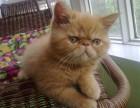 常州哪里卖纯种波斯猫多少钱 常州波斯猫 无病 无癣 协议质保