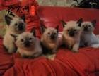 哪里有纯种暹罗猫 上海爱宠网权威机构 签协议的保证