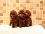 上海本地 出售泰迪犬,簽合同包健康純種,本地可送貨上門