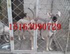 狼青犬多少钱一只,哪里出售狼狗幼犬,成年狼青犬借配出售