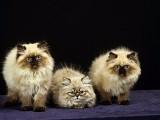极品波斯猫长毛红眼蓝眼异瞳幼崽多色可选/包纯种健康