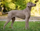 具有独特贵族气质魏玛犬幼犬出售 深受捕猎家喜爱速速下单吧!