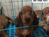 疫苗齐全公母都有纯正血统带证出售腊肠幼犬可对外