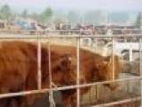 供应羊,万头肉牛羊养殖基地-黑白奶牛 养殖好项目-养殖牛羊