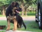 出售纯种大骨架德系锤系德国牧羊犬 包健康 可签协议