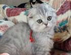 本地家养-蓝白猫 折耳猫 起司猫 蓝猫 【疫苗齐】