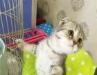《蔓蔓の猫*家庭繁育》两窝美短,折耳立耳,还有起司