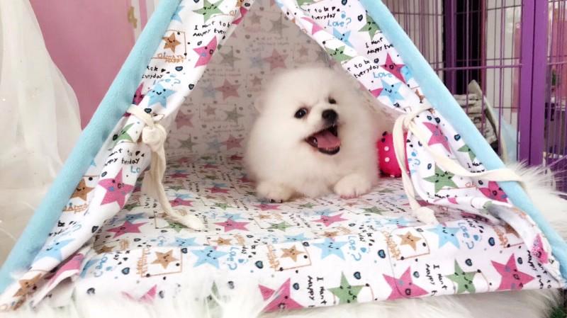 宁波博美怎么卖的 宁波哪里卖博美狗狗 哪里的博美健康纯种
