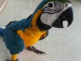 中山大型鹦鹉出售