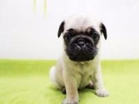 听话可爱的巴哥幼犬很矮脚好养