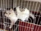 血统公猫免费对外配种