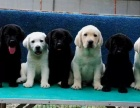 重庆狗狗之家长期出售高品质 拉布拉多 售后无忧