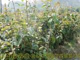 红花油茶种植基地图 大果红花油茶嫁接苗产地直销可快递