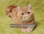 电影版红色加菲猫红小胖3个月母猫保健康