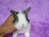 宠物兔常年批发