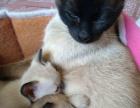 可爱暹罗猫咪,找新主人喽!