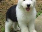 西宁纯种古代牧羊犬价格 西宁哪里能买到纯种古代牧羊犬