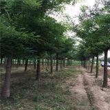 20公分国槐树价格|山东哪里有出售国槐树