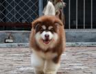 狗场里的阿拉斯加能不能养活 价格贵不贵
