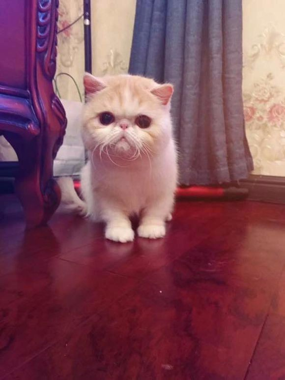 北京哪里有加菲猫卖 自家繁殖 品相** 多只可挑
