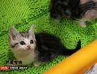 长期出售美国短毛猫 起司加白 折耳包纯种