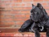 双血统卡斯罗幼犬均有出售 纯种健康有保障