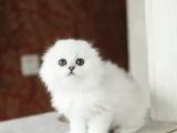 廣州純種金吉拉價格金吉拉多少錢一只出售貓咪