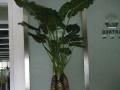 绿植盆栽、花卉、盆景租摆,出租、出售