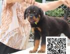 罗威纳犬纯正健康出售-幼犬出售,当地可以上门挑选
