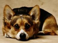 黄贝岭柯基犬出售 黄贝岭三个月纯正柯基幼犬价格 专业售后