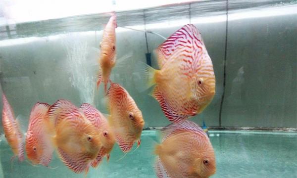 赤瞳黄金鸽子大雏 七彩神仙鱼 热带鱼 观赏鱼图片