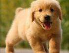 幸福就这么简单 家中开心果,有你就足够 金毛犬
